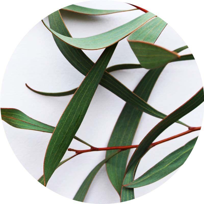 Eukaliptusz 100% tisztaságú, természetes illóolaj