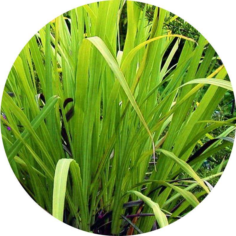 Pálmarózsa 100% tisztaságú, természetes illóolaj