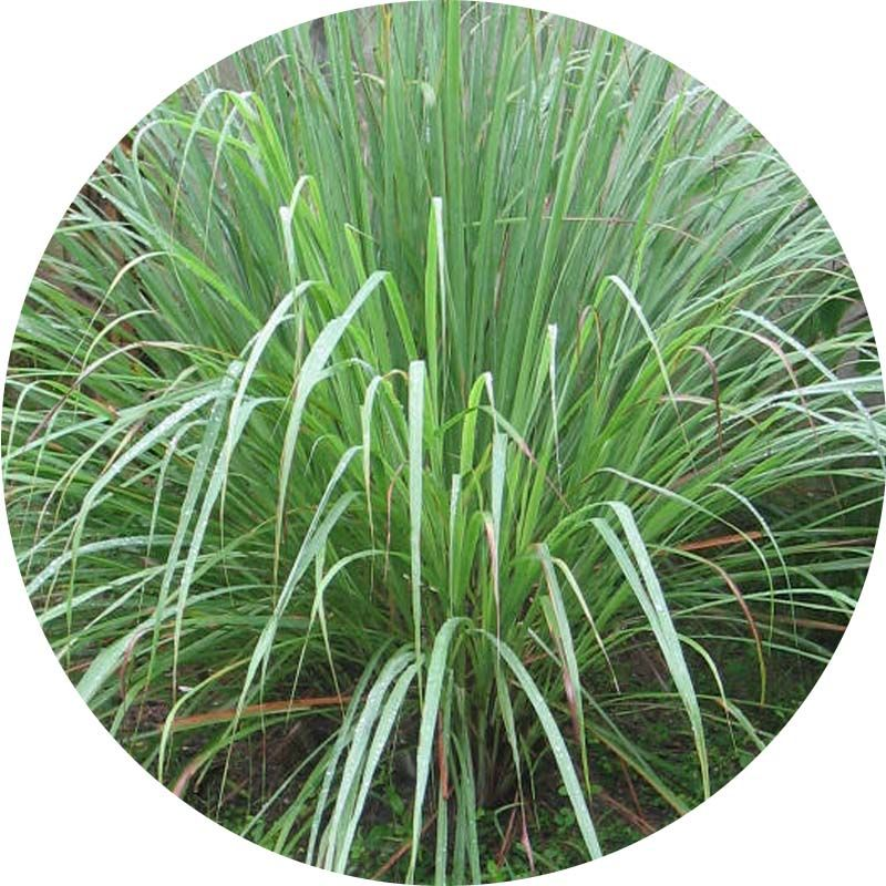 Citromfű cohin 100% tisztaságú, természetes illóolaj