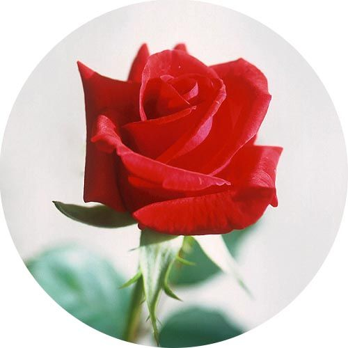 Rózsa 100% illatolaj