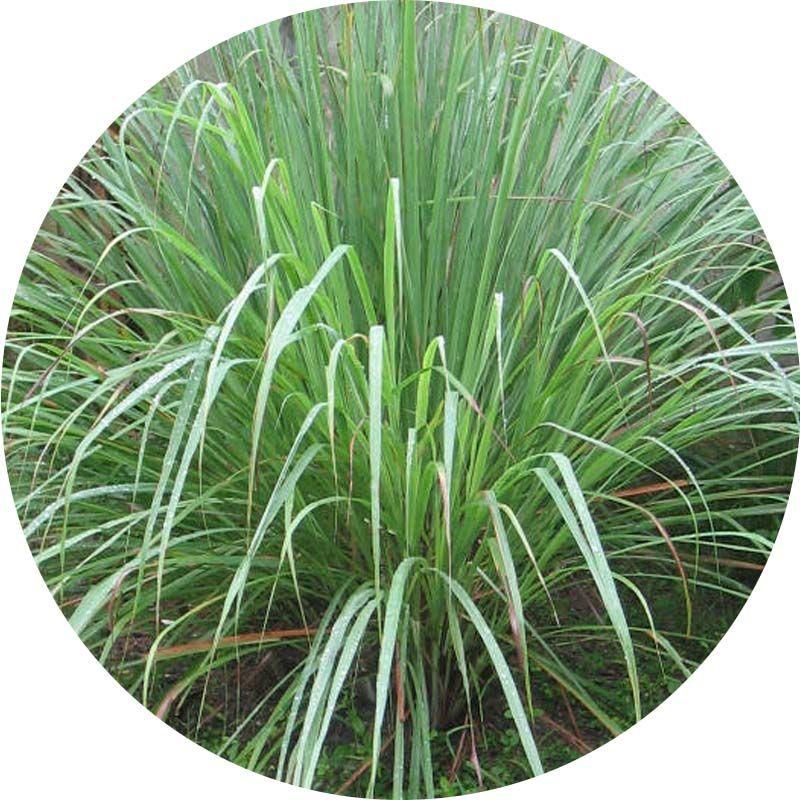 Citromfű cohin 100% tisztaságú, természetes illóolaj 100 ml