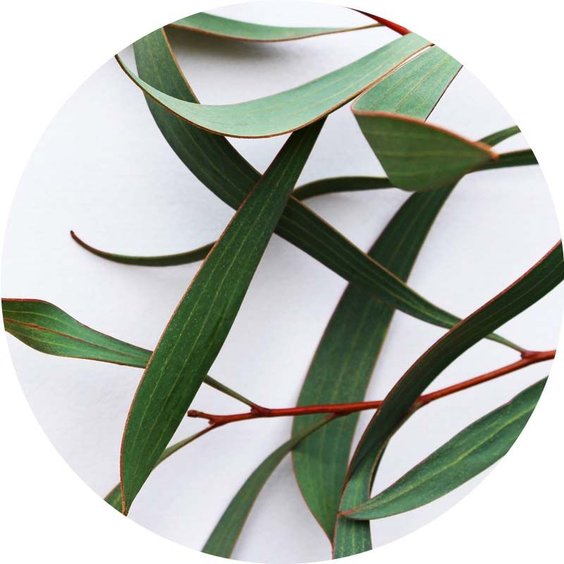 Eukaliptusz 100% tisztaságú, természetes illóolaj 50 ml
