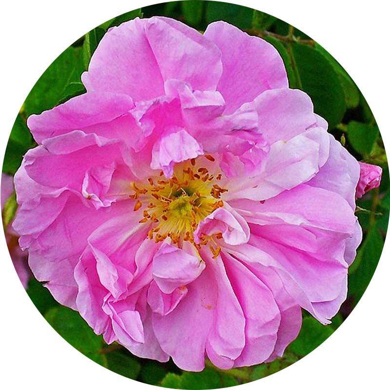 Törökországi rózsa 100% tisztaságú, természetes illóolaj 50 ml